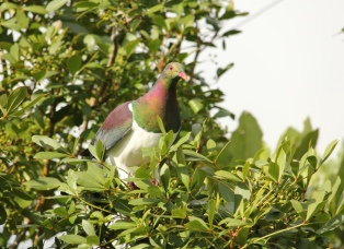 Kererū watching for danger