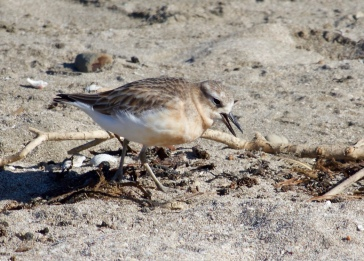 NZ Dotterel ShakespearPark