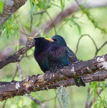 starlingokura