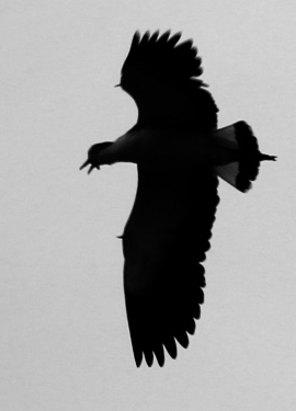 You can see the wing spurs in this silouette