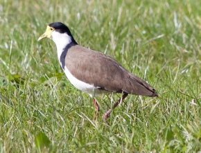 Side view of spur winged plover
