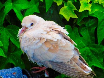 Barbary Dove Fledgling