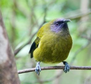 Korimako - Bellbird