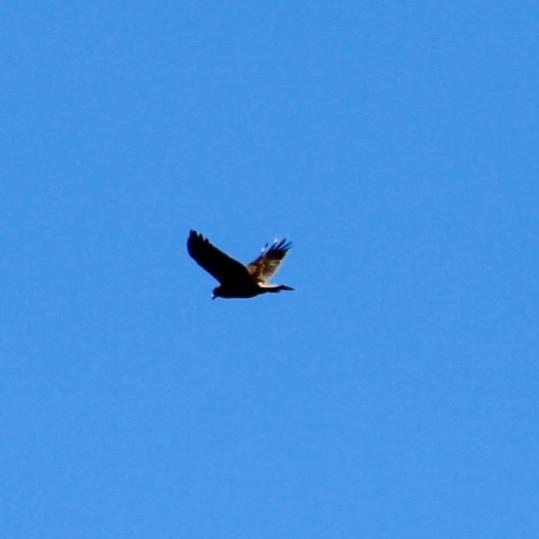 Hawkwide
