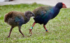Takahe adult with chick