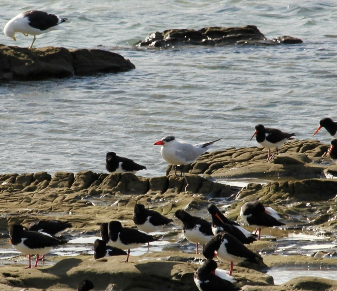 Caspain tern with South Island Pied Oystercatchers