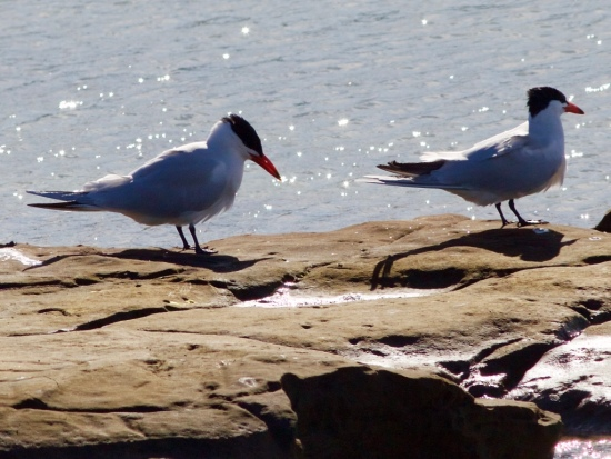 Pair of Caspian terns