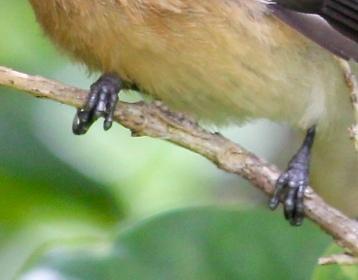 Piwakawaka - Fantail