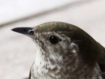 Shining cuckoo