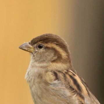 Tiu- sparrow