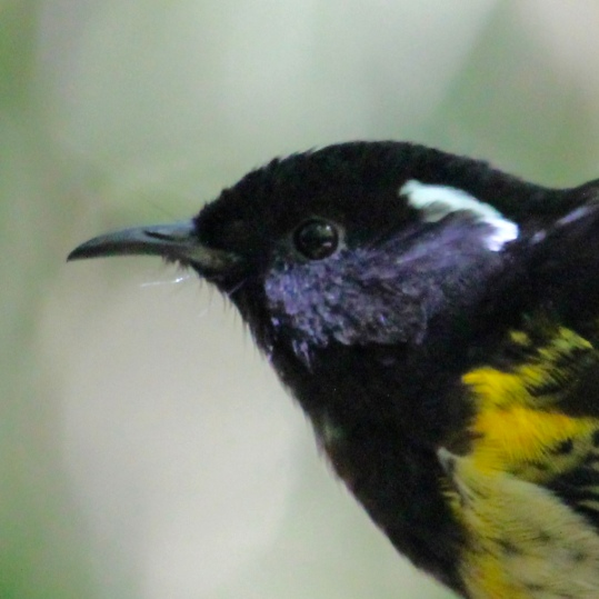 Hihi -stitchbird