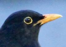 Manu pango - Blackbird