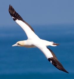 Australian gannet