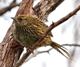 Mātātā - NZ Fernbird