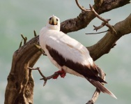 red-footed-booby-muriwai2