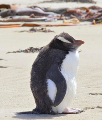 Unhappy yellow eyed penguin